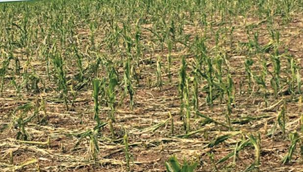 There was damage of corn fields. Many farmers are struggling with the decision to replant or not.