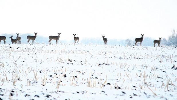 These deer took a moment from foraging for food to pose for a photo outside of Minneota recently. Deer have been plentiful this winter because of mild temperatures and less snow, making it easier for the deer to leave their ruts and search for food. Drivers should also be alert for more deer than normal during the winter months.