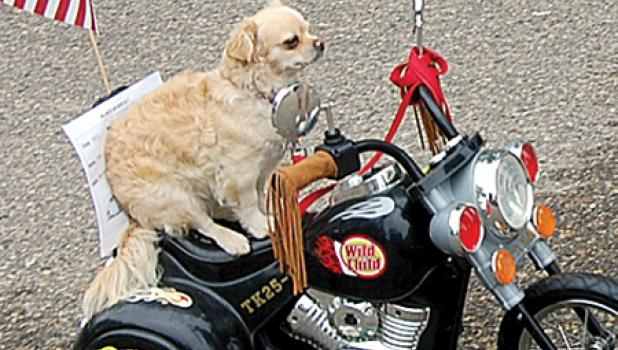 BM Konold, a mixed breed dog owned by Penny Konold of Morton, rides down West McQuestion Street in Ghent during the Belgian-American Days Car Show. The mini motorcycle runs on a 9-volt battery.