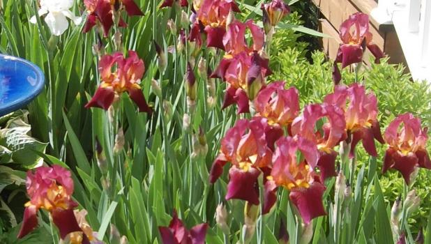 Many irises have begun blooming at the Joanne and David Myrvick home.