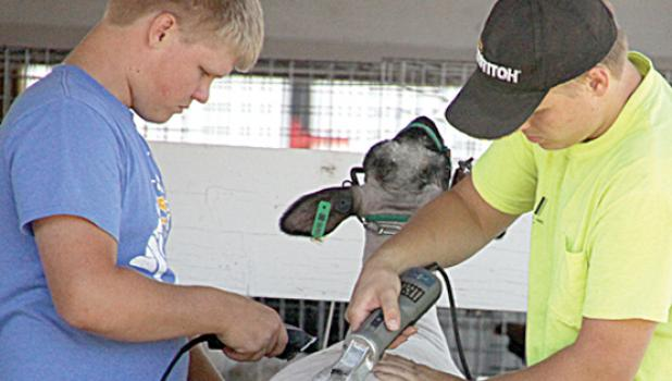 Cole and Tyler Myhre prepare their lamb for showing at the county fair.