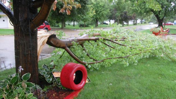 This Maple tree was damaged in Saturday's storm at the home of Paul and Sis Fonteyn in Minneota.