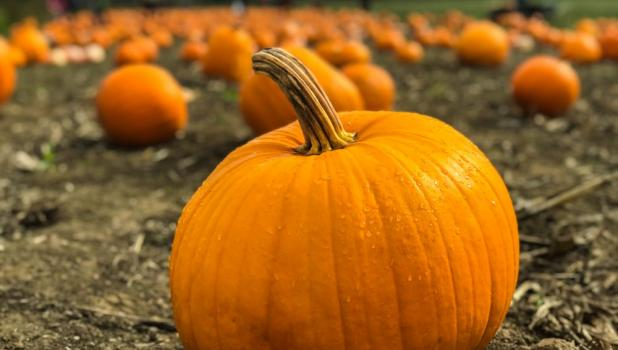 The freshest Minnesota pumpkins, large and small, bumpy or smooth, in multiple colors, are now available from local growers around the state to last throughout your harvest season.