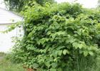 A large Bohemian knotweed plant dwarfs a garage.