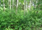 This forest has the invasive shrub common buckthorn invading the understory and would be a good candidate for invasive plant management.