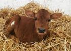 One of my new calves.