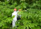 Giant hogweed reaches heights of 15 feet and has highly toxic sap.