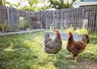 New Minneota City Ordinance discusses chicken control.
