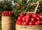 Minnesota's favorite apples, such as Honeycrisp, Haralson, Regent, and Honeygold, will ripen throughout the month of September.