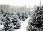 Visit the Minnesota Grown website to find a Christmas tree grower in your area at www.minnesotagrown.com/christmastrees.