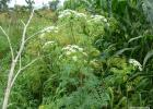 A poison hemlock plant in flower.